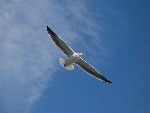 seagull-13430_640